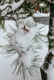 KiefernWeihnachtsbaum-Winterniederlassung im Schnee Stockfoto