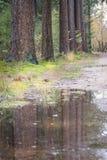 Kieferreflexion in der Pfütze des Wassers auf dem Waldweg Stockfotos
