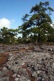 Kieferwälder mit Patiosteinvordergrund. Lizenzfreies Stockbild