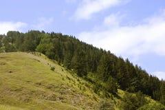 Kieferwald Stockbilder