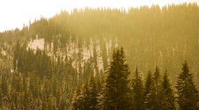 Kieferwald stockbild