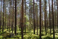 Kieferwald Stockfoto