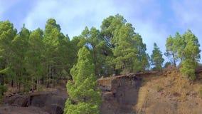 Kieferwald auf Bergabhang stock footage