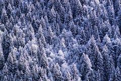 Kieferwald im Schnee Stockfoto