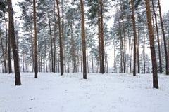 Kieferwald im Winter Stockfotografie