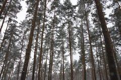Kieferwald im Winter Stockbild