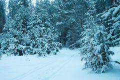 Kieferwald im Winter Lizenzfreies Stockfoto
