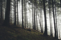 Kieferwald mit mysteryous Nebelabflussrinnentannenbäumen Lizenzfreies Stockfoto