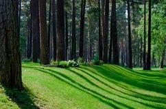 Kieferwald mit Schatten und Strahlen der Leuchten Stockfotografie