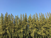 Kieferwald unter tiefem blauem Himmel lizenzfreie stockfotos
