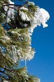 Kieferzweig im Schnee Stockfotos