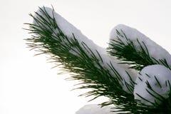 Kieferzweig im Schnee stockbilder