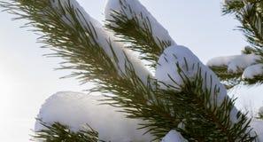 Kieferzweig im Schnee lizenzfreie stockfotos
