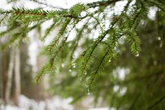 Kieferzweig mit Regentropfen Stockfotografie