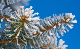 Kieferzweige im Schnee lizenzfreies stockbild