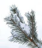 Kieferzweige im Schnee Stockfoto