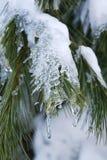 Kieferzweige mit Schnee Stockbilder