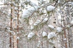 Kieferzweige mit Schnee Weiße Schneeflocken auf einem blauen Hintergrund lizenzfreie stockfotografie