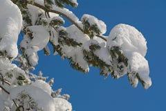 Kieferzweige unter dem Schnee Stockfotos