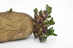 Kiem van een aardappel royalty-vrije stock afbeeldingen