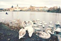 Kierdel ?ab?d? na bankach Vltava rzeka obrazy royalty free