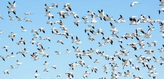 Kierdel śnieżne gąski w locie, migracja Obraz Royalty Free