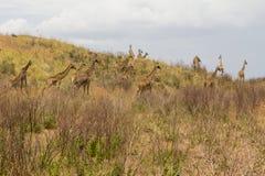 Kierdel żyrafy chodzi na całunie zdjęcie stock