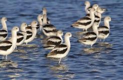 Kierdel Amerykańscy avocets w płytkiej wodzie (Recurvirostra americana) obrazy royalty free