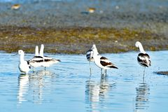 Kierdel Avocets Obraz Stock