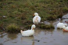 Kierdel białe gąski kąpać się w odprowadzeniu wzdłuż brzeg i rzece Zdjęcia Stock