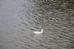 Kierdel białe gąski kąpać się w odprowadzeniu wzdłuż brzeg i rzece Fotografia Stock