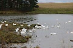 Kierdel białe gąski kąpać się w odprowadzeniu wzdłuż brzeg i rzece Zdjęcie Royalty Free