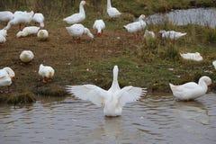 Kierdel białe gąski kąpać się w odprowadzeniu wzdłuż brzeg i rzece Zdjęcia Royalty Free