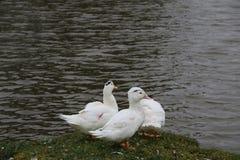 Kierdel białe gąski kąpać się w odprowadzeniu wzdłuż brzeg i rzece Obrazy Stock