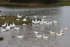 Kierdel białe gąski kąpać się w odprowadzeniu wzdłuż brzeg i rzece Obrazy Royalty Free
