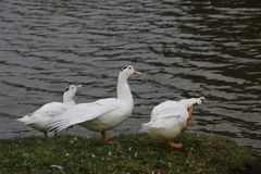 Kierdel białe gąski kąpać się w odprowadzeniu wzdłuż brzeg i rzece Obraz Stock