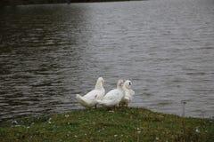 Kierdel białe gąski kąpać się w odprowadzeniu wzdłuż brzeg i rzece Fotografia Royalty Free