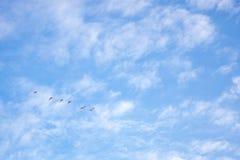 Kierdel biali łabędź w niebie Wiosny migracja ptaki Wiosna czas? wzrasta? li?cie, naturalny t?o zdjęcia stock