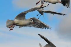 Kierdel biali seagulls Fotografia Royalty Free