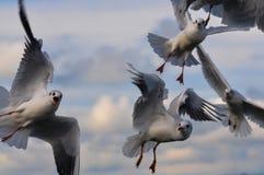 Kierdel biali seagulls Obraz Stock