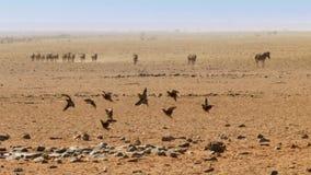 Kierdel Burchell Sandgrouse w locie nad Namibijska sawanna zdjęcie royalty free