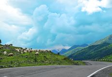 Kierdel cakle blisko drogi w górach zdjęcie stock