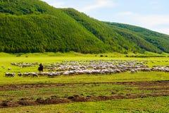 Kierdel cakle na obszarze trawiastym i sheepherder zdjęcie royalty free