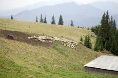 Kierdel cakle przy sheepfold zdjęcia royalty free