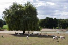 Kierdel cakle w cieniu drzewo zdjęcia stock