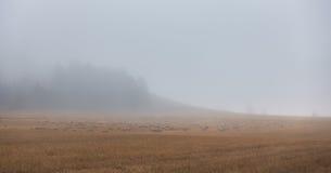 Kierdel cakle w mgłowym jesień dniu Obrazy Stock