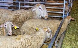 Kierdel cakle w sheepfold przy bydło jarmarkiem fotografia stock