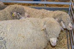 Kierdel cakle z wełną twarzą w sheepfold cattl zdjęcie stock