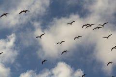 Kierdel czarni skimmers przeciw chmurnemu niebu obraz stock
