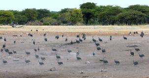 Kierdel Czubaty guineafowl Etosha, Namibia Afryka zdjęcie wideo